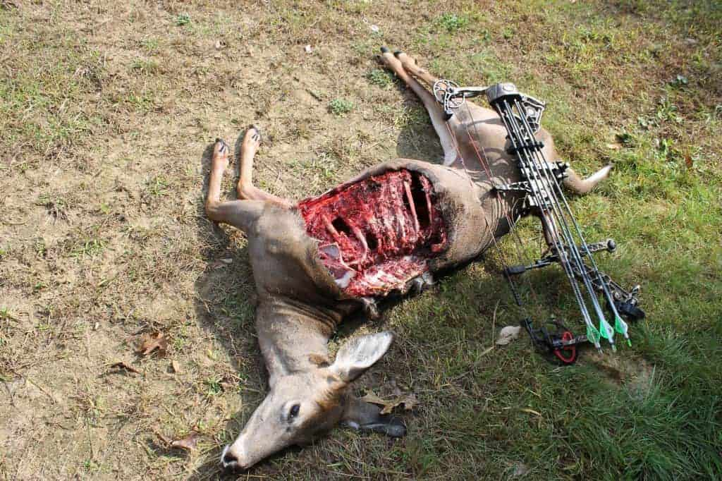 Another angle of the doe after being snacked on by a bear