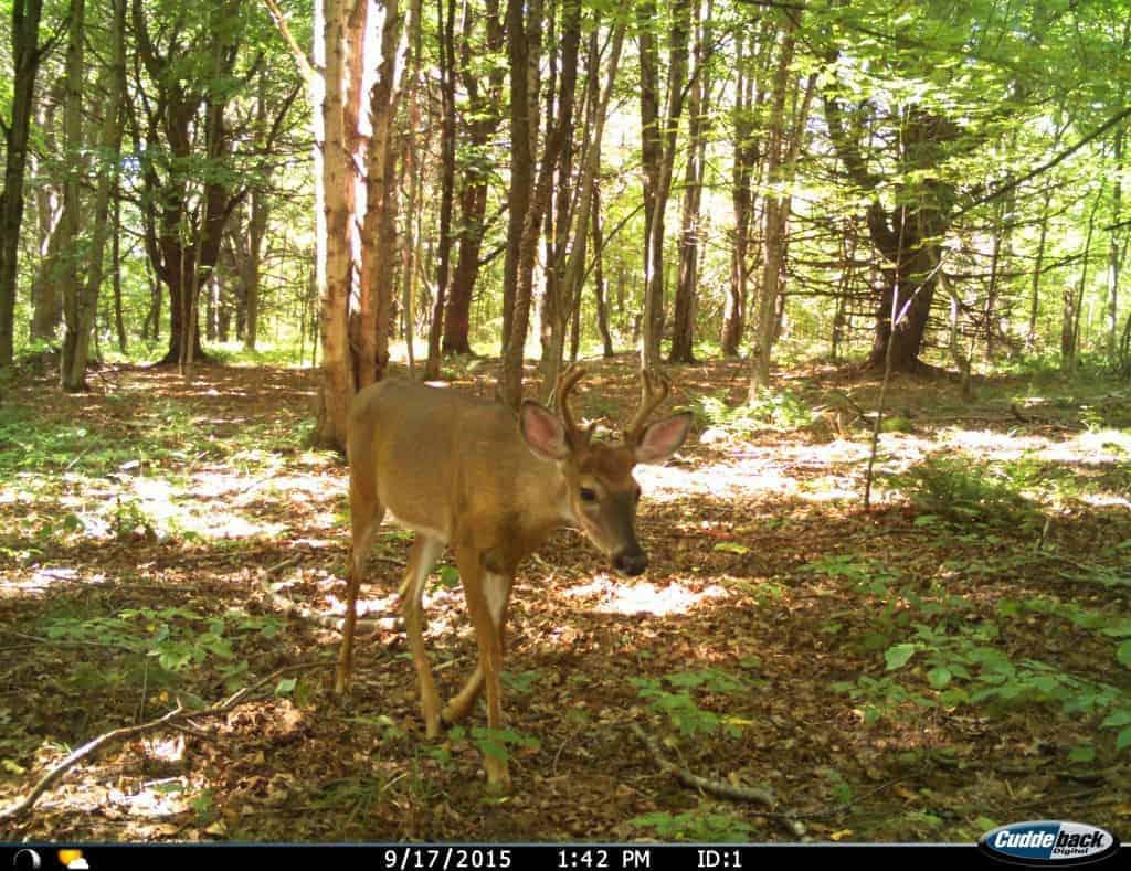 6 Point Buck