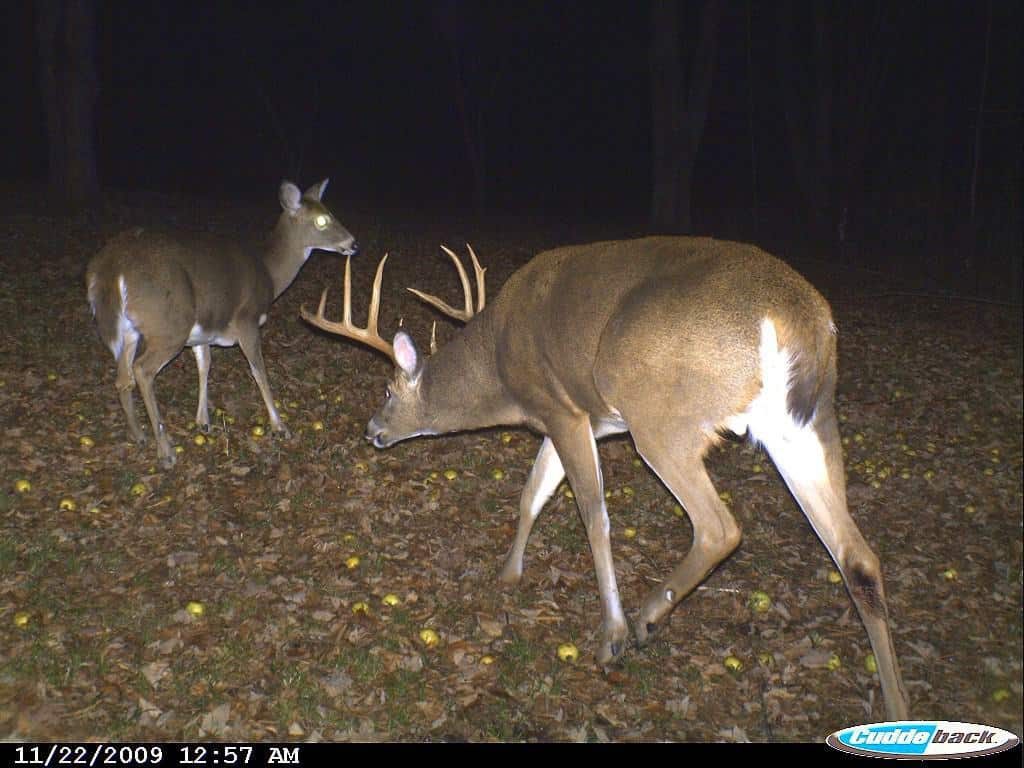 Big Buck, Deer, Rut