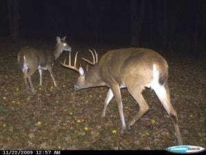 Big Buck, Deer, Rut