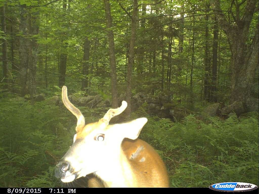 Vermont Spike Horn Deer