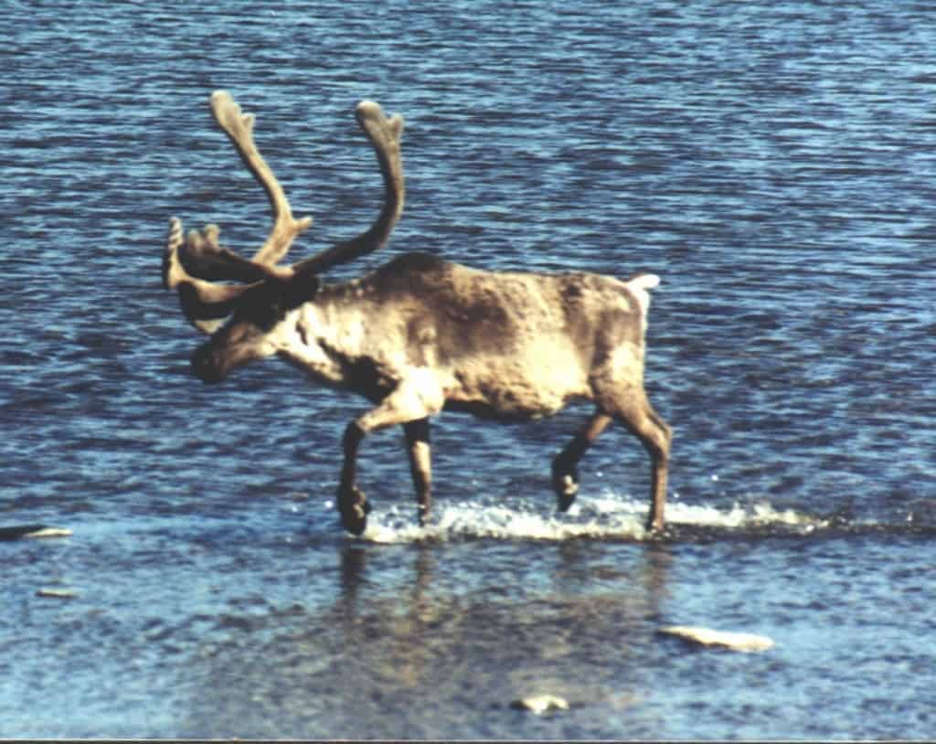 Quebec Caribou