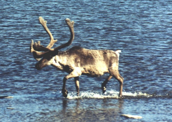 The Caribou Of Montreal