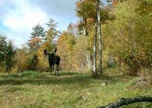 Vermont Bull Moose, Eastern Moose