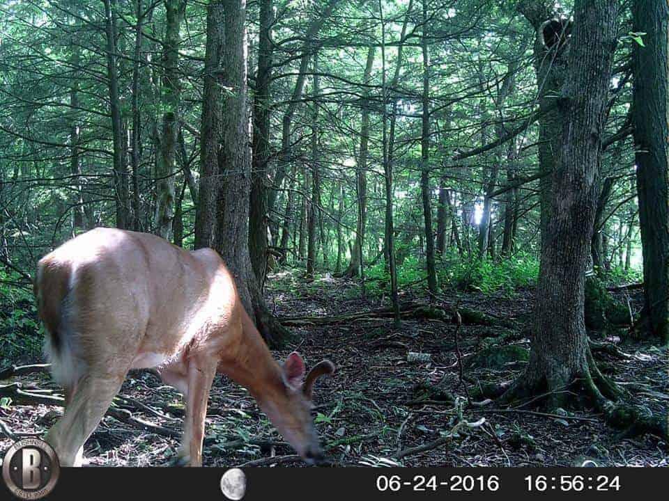 Vermont deer, trail camera