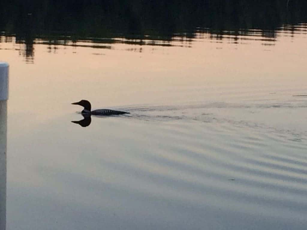 New Hampshire Loon