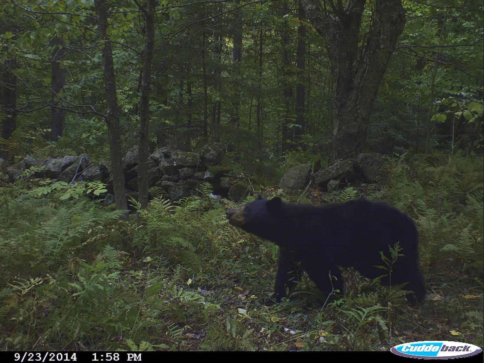 Vermont Black Bear