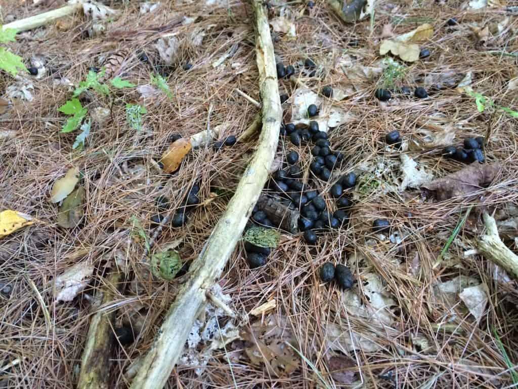 Deer Scat, Vermont, New Hampshire, Deer Poop