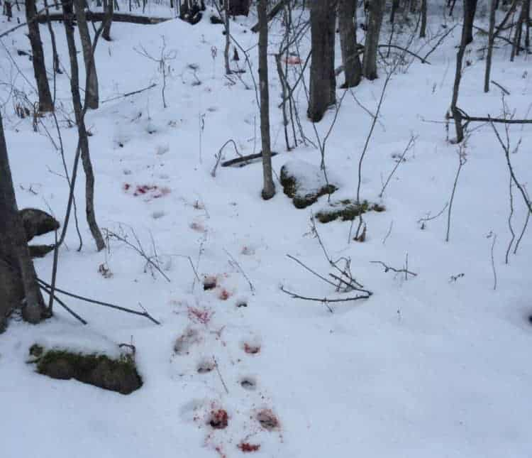 Wounded Doe, Blood Trail