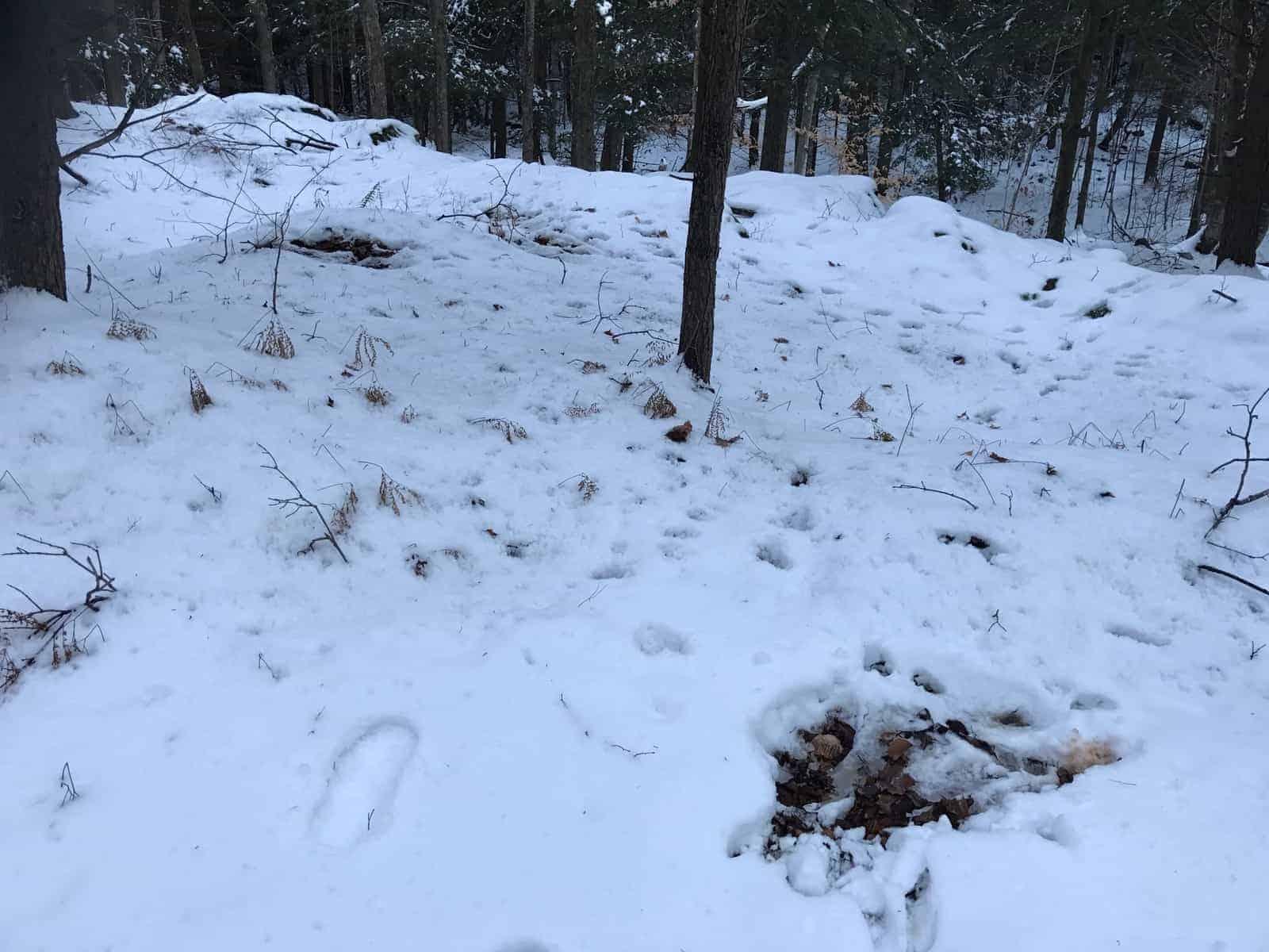 deer beds in snow