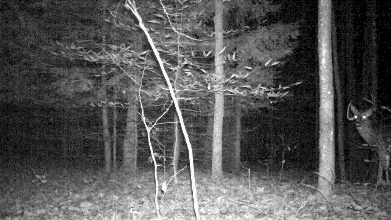 New Hampshire Buck