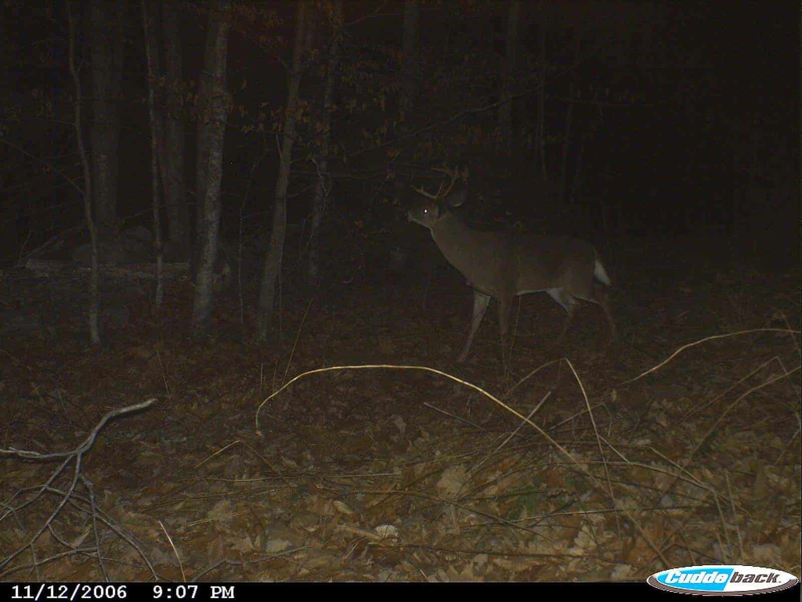 Vermont buck working a scrape