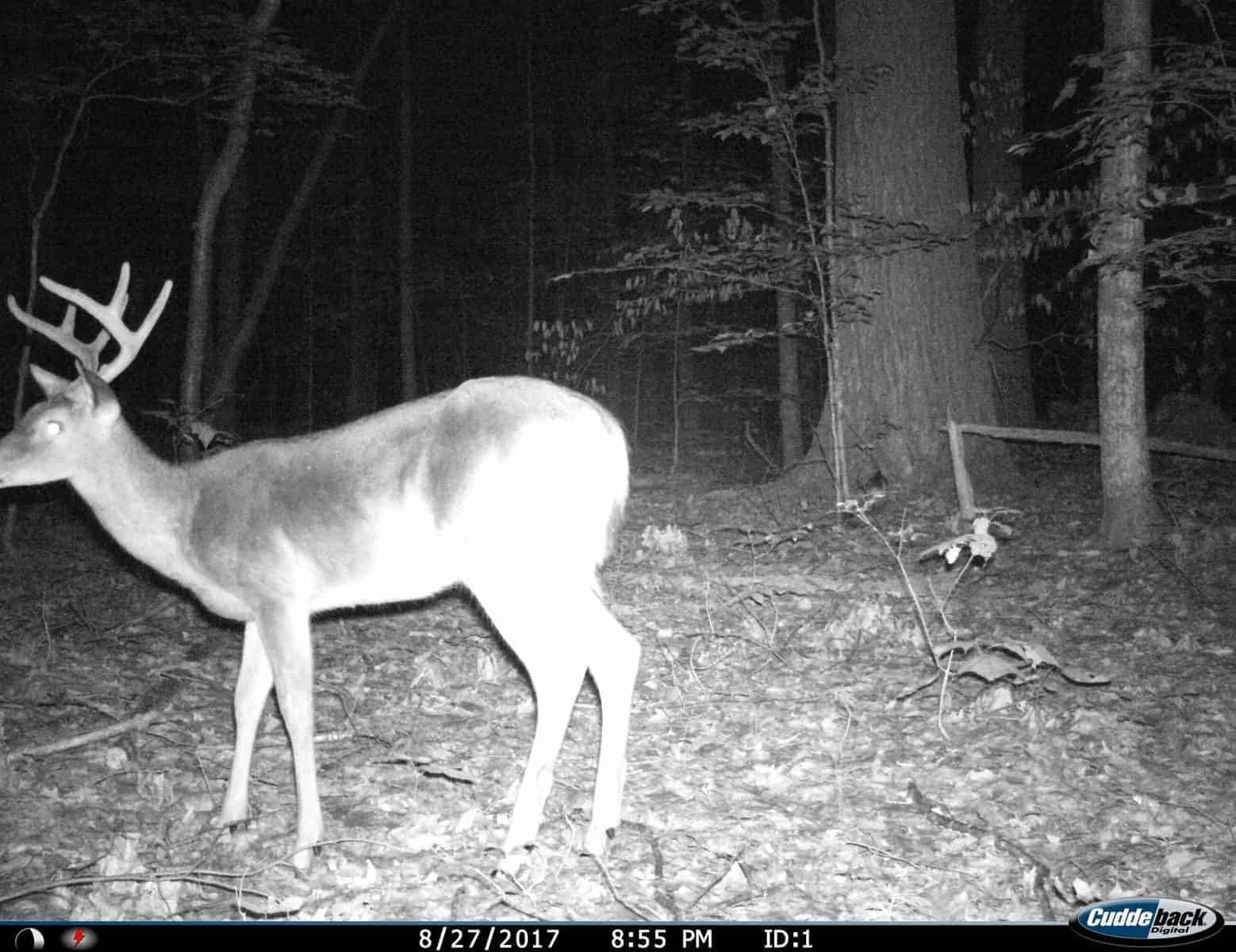 New Hampshire Buck