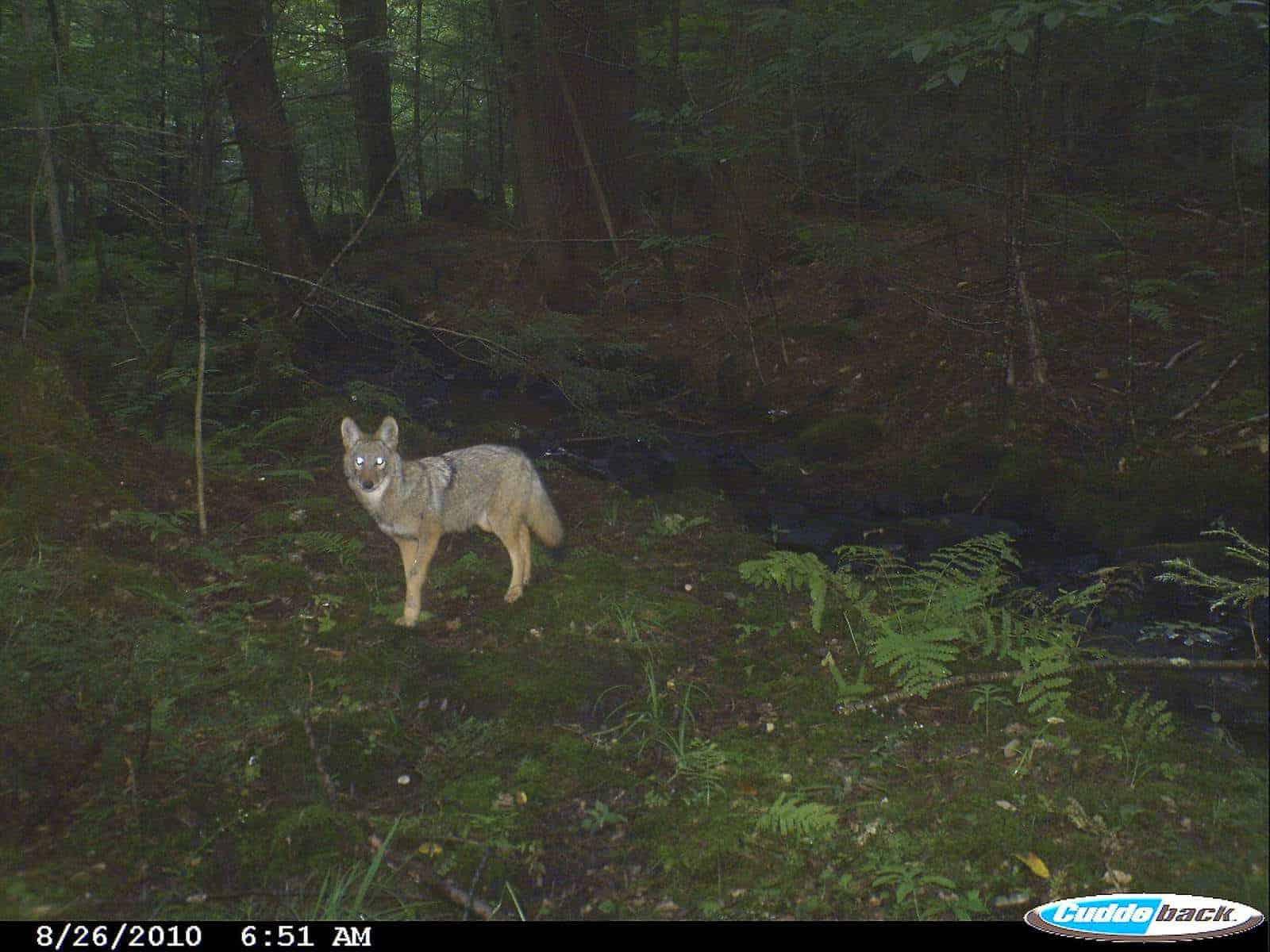 Coyote, New Hampshire