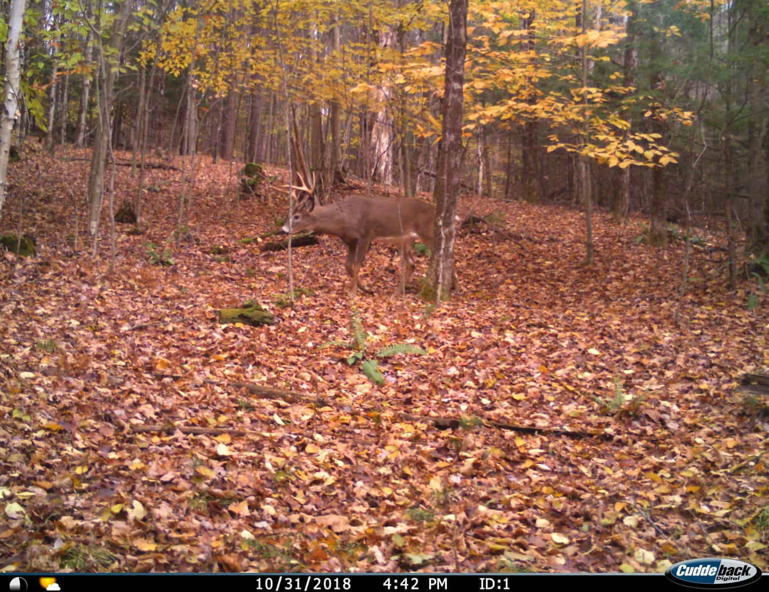 New Hampshire Deer