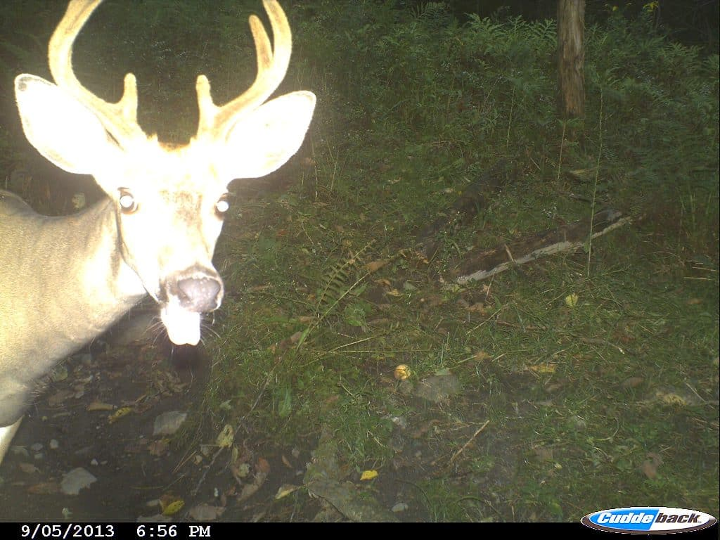 Deer, Trail Camera