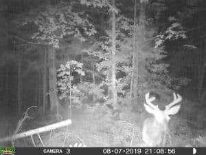 Buck, Deer, Vermont