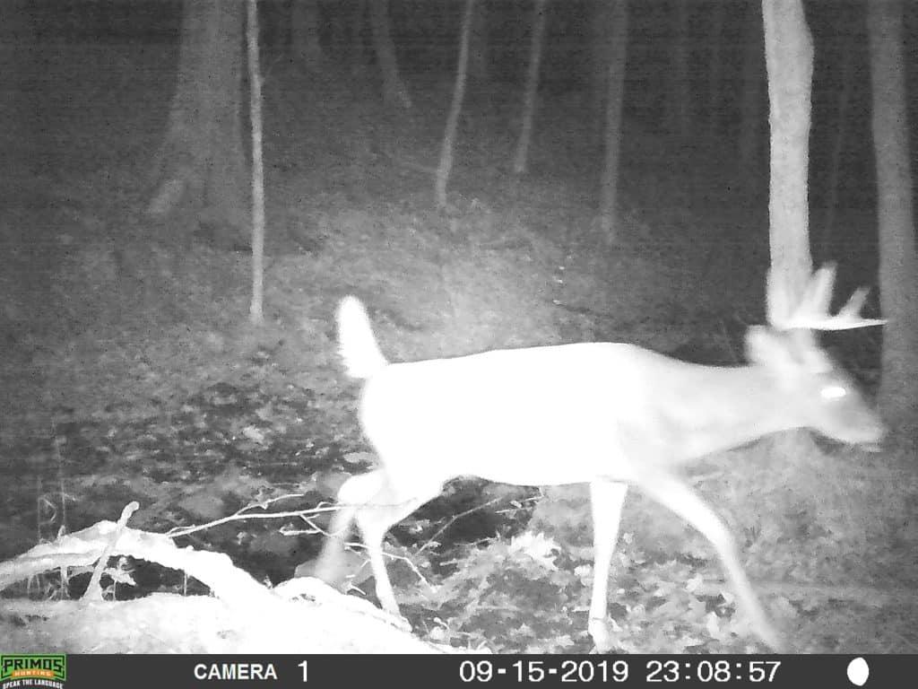 Buck, Whitetail deer, hunting